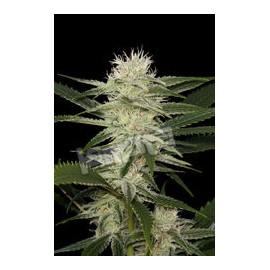 Semillas de marihuana Original Amnesia