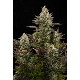 White Widow de Dinafem