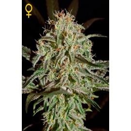 Semillas de marihuana AMS de Green House