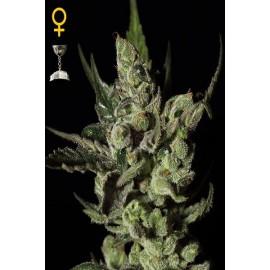 Semllas de cannabis Exodus Cheese