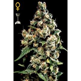 Semillas de marihuana Jack Herer