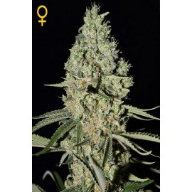Semillas de marihuana Super Critical de Green House