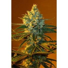 Semillas de marihuana Super Lemon Haze
