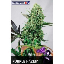 Semillas de marihuana sativa Purple Haze