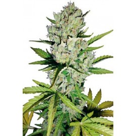 Semillas Super Skunk Auto
