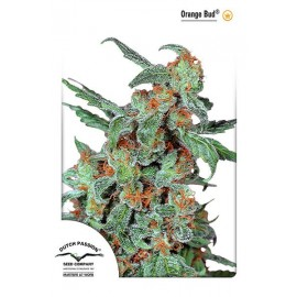 Semillas de marihuana Orange Bud