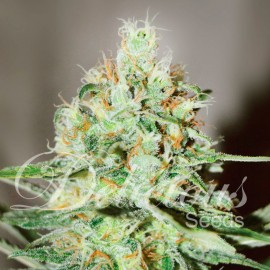 Semillas Jagg Kush de Delicious Seeds