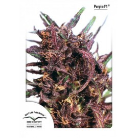 Semillas feminizadas Purple 1