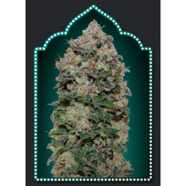 Semillas Northern Light de 00 Seeds