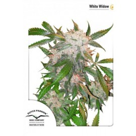 White Widow original de Dutch Passion