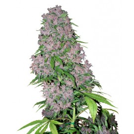 Purple Bud de White Label