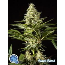 Black Bomb (3 semillas)