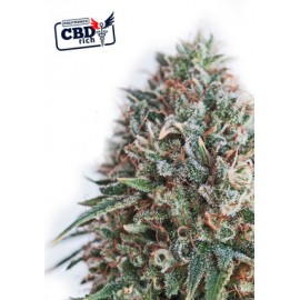 CBD Ctical 47 (5 semillas)