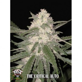 The Critical Auto de Xtreme Seeds