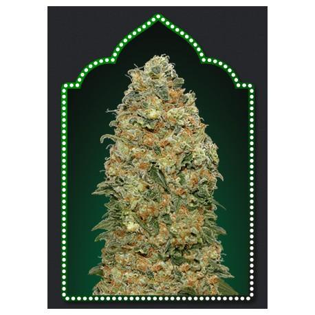 Semillas de marihuana White Widow