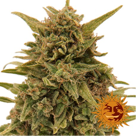 Semillas de Cannabis Blueberry OG