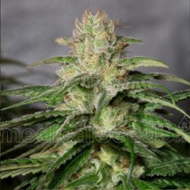 OG Kush CBD de Medical Seeds