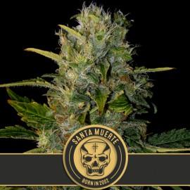 Santa Muerte de Blimburn Seeds