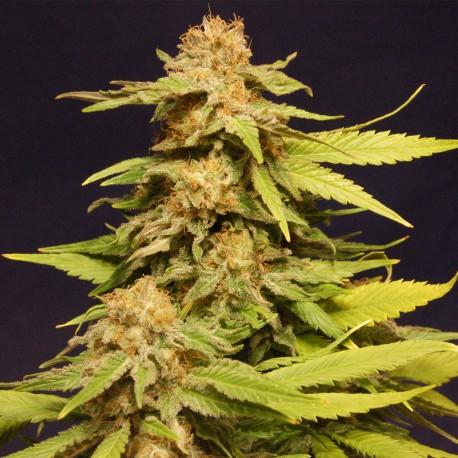 Semillas de marihuana Big Bull