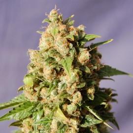 Semillas de marihuana Kiss de Kannabia