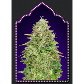 Critical Poison Fast Version semillas de 00 Seeds