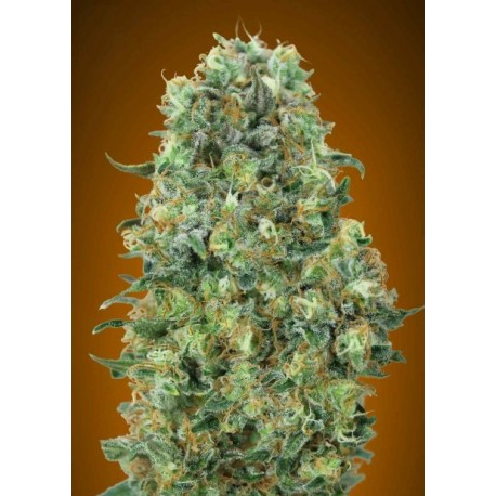 Feminized Collection 6 de Advanced Seeds