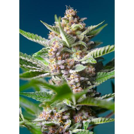 Purple Punch OG de Sweet Seeds