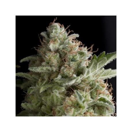 Semillas de marihuana American Pie