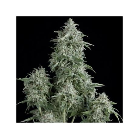Semillas de marihuana Anubis