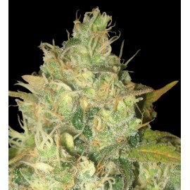Semillas Black Russian de Delicious Seeds