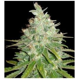 Afghan Kush x Black Domina (3 semillas)