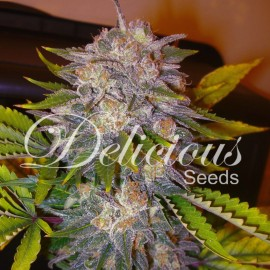 Seillas de marihuana Caramelo de Delicious Seeds